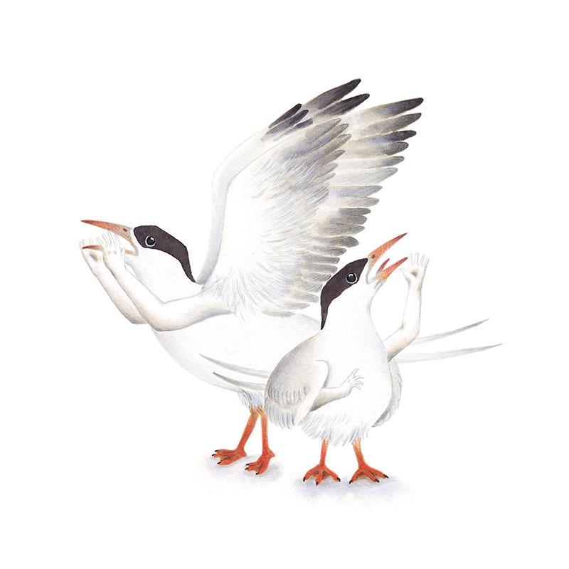 Inktober 2017, Mar Villar, ilustracion de aves, bird illustration, ilustracion de pajaro, ilustracion a tinta, common tern, charran comun, sterna hirundo
