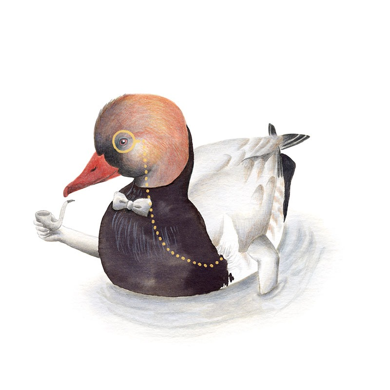 Inktober 2017, Mar Villar, ilustracion de paves, ilustracion de pajaro, ilustracion a tinta, bird illustration, Red crested pochard, pato colorado, netta rufina