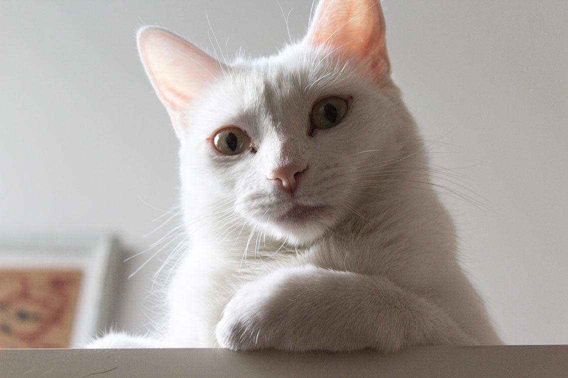 Tiza, gata blanca, gato blanco, ilustrador con gato,