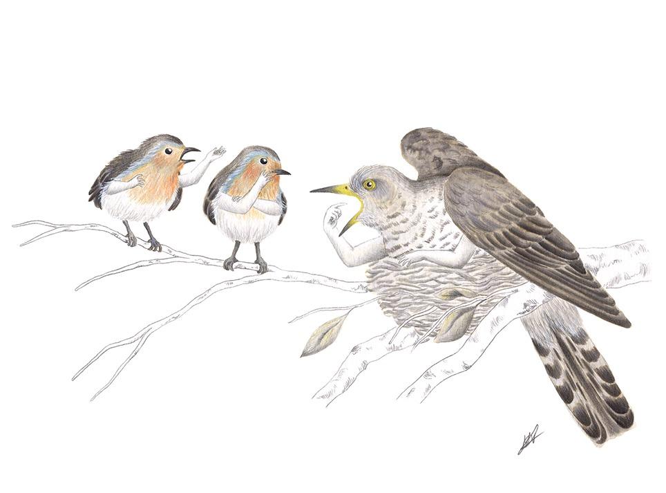 Ilustración a tinta, ilustración de pájaros, cuco, petirrojo, paso a paso de una ilustración, ilustración a tinta paso a paso, Inktober, Mar Villar, ilustración de pájaros, ilustración de aves, ilustración sobre ornitología, donujos de pájaros, dibujos de aves, ilustración científica, cuculus canorus, erithacus rubecula,