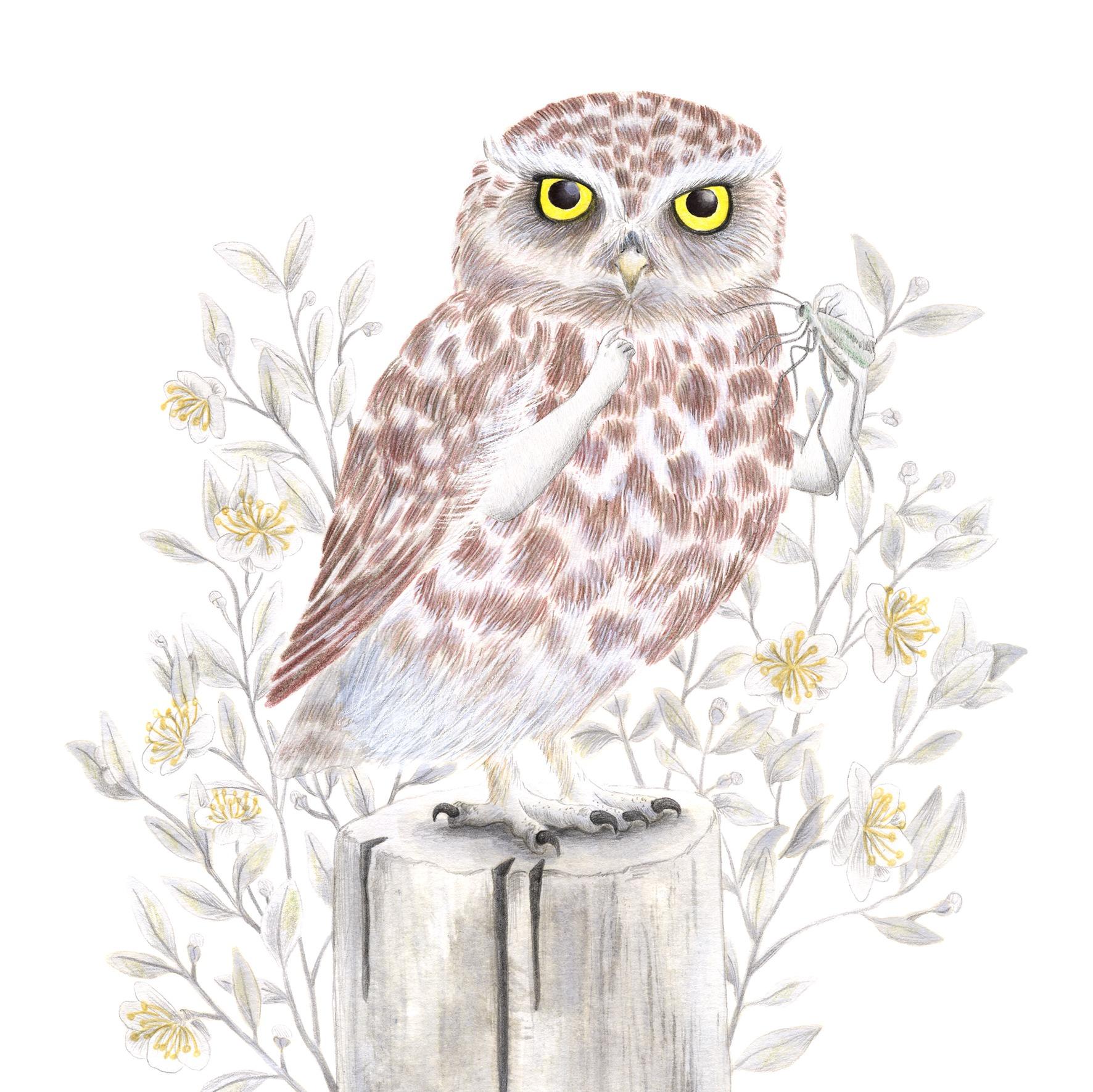 Mochuelo, Athene noctua, ilustración de aves, ilustración de lechuza, dibujo de lechuza, little owl, owl illustration, lechuza comiendo, ilustración de naturaleza, ilustración de animales, ilustración de rapaces nocturnas,